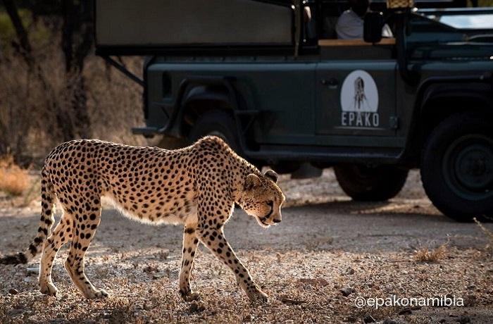 Epako Safari Lodge Wildlife Cheetah